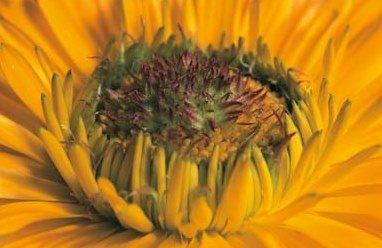 Ringelblume - Calendula Offinalis