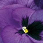 Stiefmütterchen -Viola Wittrockiana Hybriden