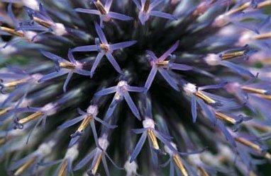 Kugeldistel - Echinops Bannaticus