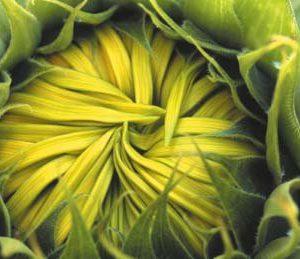 Sonnenblumen-Postkarte_060