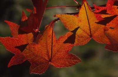 Amerikanischer Amberbaum