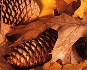 Zapfen einer Rottanne - Picea abies