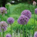 Allium-Postkarte_203