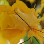Gelbe-Ahornblaetter-Postkarte_229