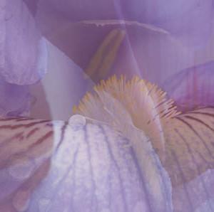 Schwertlilie-Postkarte_252t