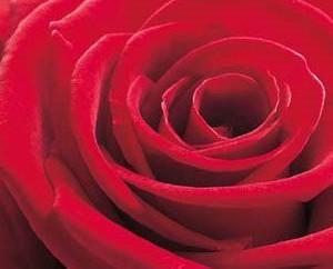 Rose-Grandprix-Postkarte_015