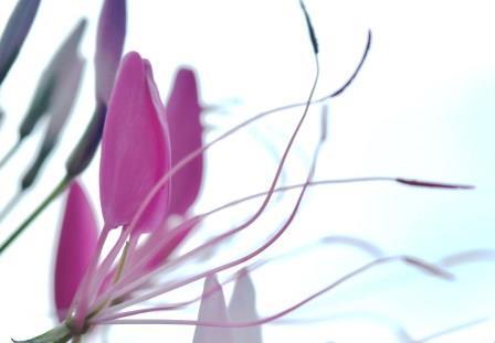 Spinnenblume-Postkarte_317