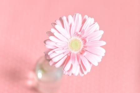 rosa-Gerbera_rose_323